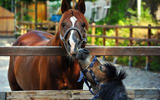 horse, pony, paddock